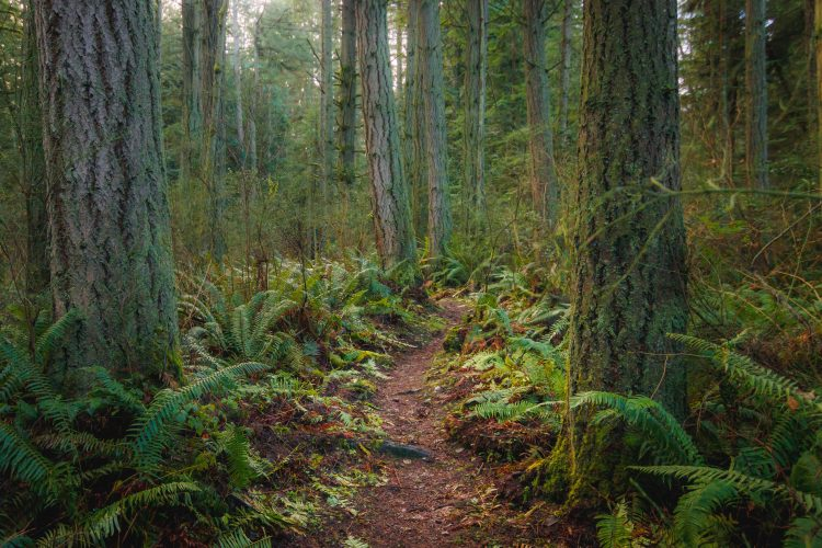 Camano Ridge Trail through evergreen forest